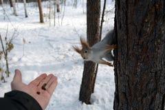 Wiewiórka na drzewnej i ludzkiej ` s ręce z dokrętkami Obraz Stock