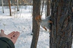 Wiewiórka na drzewnej i ludzkiej ` s ręce z dokrętkami Obrazy Stock