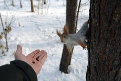 Wiewiórka na drzewnej i ludzkiej ` s ręce z dokrętkami Zdjęcia Royalty Free