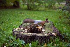 Wiewiórka na drzewnym fiszorku Zdjęcie Royalty Free