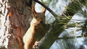 Wiewiórka na gałąź. zbiory