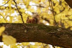 Wiewiórka na gałąź Obrazy Royalty Free