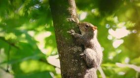 Wiewiórka na gałąź płycizny ostrości zdjęcie wideo