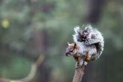 Wiewiórka na gałąź na rozmytym tle Obrazy Stock