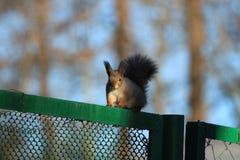 Wiewiórka na ogrodzeniu Fotografia Royalty Free