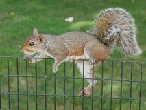 Wiewiórka na ogrodzeniu Zdjęcie Stock