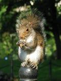 Wiewiórka na ogrodzeniu   Obrazy Stock