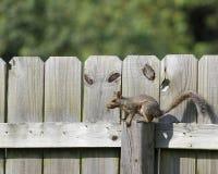 Wiewiórka na ogrodzeniu Obrazy Royalty Free