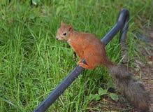 Wiewiórka na ogrodzeniu Zdjęcia Royalty Free