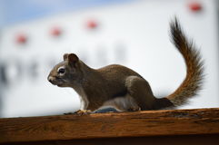 Wiewiórka na ostrzeżeniu obraz stock