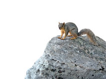 Wiewiórka na skale Obrazy Royalty Free