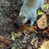 Wiewiórka na spadać liściach Zdjęcia Royalty Free