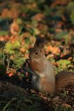 Wiewiórka na trawie Obrazy Royalty Free