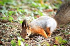 Wiewiórka na ziemi Obraz Royalty Free