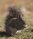 Wiewiórka na ziemi Zdjęcie Royalty Free