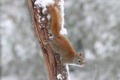 Wiewiórka na zima dniu Zdjęcia Royalty Free