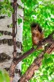 Wiewiórka nadgryza dokrętki Fotografia Royalty Free