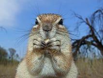 wiewiórka naziemna Zdjęcie Royalty Free