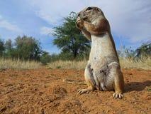 wiewiórka naziemna Zdjęcie Stock