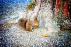 Wiewiórka & orzech włoski Obraz Royalty Free