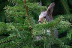 Wiewiórka osiąga szczyt przez świerkowego drzewa Fotografia Royalty Free