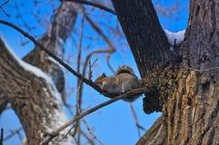 Wiewiórka podczas zimy Zdjęcie Stock