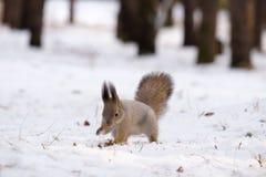 Wiewiórka przód iść na piechotę głębienie w śniegu w poszukiwaniu jedzenia, zima las fotografia royalty free
