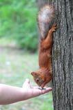 Wiewiórka przy drzewem Obrazy Royalty Free