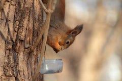 Wiewiórka przy drzewem Fotografia Royalty Free