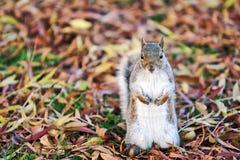Wiewiórka przy regenta parkiem Obrazy Royalty Free