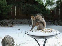 Wiewiórka przy zimą Obraz Stock