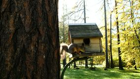 Wiewiórka puszek drzewo i je słonecznikowych ziarna na drewnianym dozowniku w parku zbiory