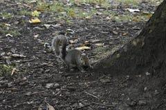 Wiewiórka - Sciuridae - natura Obrazy Stock