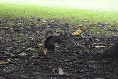 Wiewiórka - Sciuridae - natura Fotografia Stock
