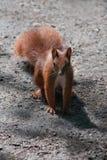 Wiewiórka (Sciurus vulgaris) na piaskowatej drodze Zdjęcia Stock