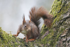 Wiewiórka (Sciurus vulgaris), siedzi na orzecha włoskiego drzewie z mech Obrazy Stock