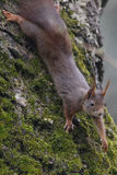 Wiewiórka (Sciurus vulgaris), wspinaczkowy puszek orzecha włoskiego drzewo z mech Zdjęcie Royalty Free