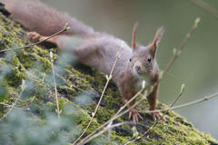 Wiewiórka (Sciurus vulgaris), wspinaczkowy puszek orzecha włoskiego drzewo z mech Zdjęcia Royalty Free