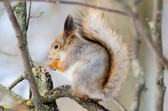 Wiewiórka siedzi na drzewa i łasowania dokrętkach Fotografia Royalty Free