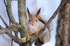 Wiewiórka siedzi na drzewie frontowa strona Obraz Royalty Free