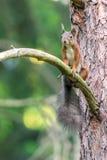 Wiewiórka siedzi na drzewnym bagażniku zdjęcia royalty free