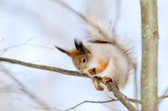 Wiewiórka siedzi na drzewnym w dół i patrzeć Zdjęcia Royalty Free