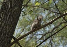 Wiewiórka siedzi na gałąź Obraz Royalty Free
