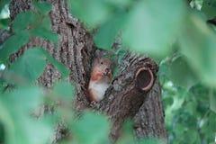 Wiewiórka siedzi na gałąź i jeść dokrętki Obraz Royalty Free