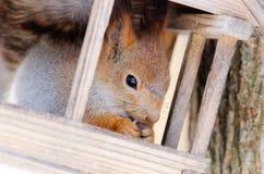 Wiewiórka siedzi w małym domu i łasowania jedzeniu Obrazy Royalty Free