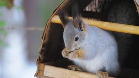 Wiewiórka siedzi w ptasim dozowniku w naturalnym parku i je słonecznikowych ziarna zbiory wideo