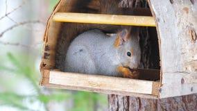 Wiewiórka siedzi w ptasim dozowniku w naturalnym parku i je słonecznikowych ziarna zbiory
