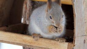 Wiewiórka siedzi w ptasim dozowniku w naturalnym parku i je słonecznikowych ziarna zdjęcie wideo