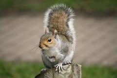 Wiewiórka siedział na drewnianej beli, zakończenie up Zdjęcie Royalty Free