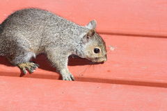 Wiewiórka, Siwieje (potomstwa) Zdjęcie Royalty Free